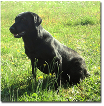 HUNTERSBEST BLACK DOG, JH